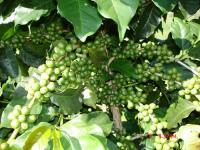 Зеленый кофе — оптимальный выбор